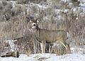 Mule Deer Elkhorn 5 myatt odfw (7591217270).jpg
