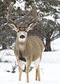 Mule buck elk creek u myatt (5489810510).jpg