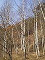 Mungyeong birches 2.jpg