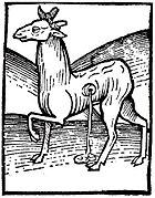 """""""Musk-cat"""", woodcut from Hortus Sanitatis, 1490"""