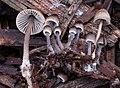 Mycena leptocephala (Pers.) Gillet 709617.jpg