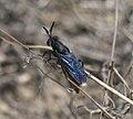 Mydidae P1090924a.jpg