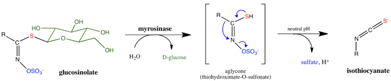 mechanism of glucosinolate hydrolysis by myrosinase