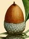 NAS-001f Quercus alba acorn.png