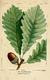 NAS-008 Quercus montana.png