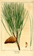 NAS-134f Pinus resinosa.png