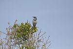 NASA Kennedy Wildlife - Florida Scrub Jay (7).jpg