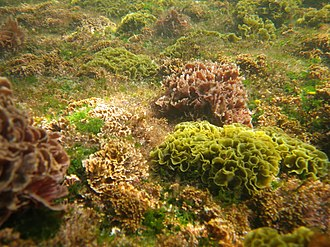 Seaweed - Seaweed cover this rocky seabed on the east coast of Australia