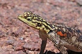 Namib rock agama (Agama planiceps) female head.jpg
