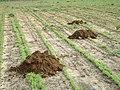 Nannospalax ehrenbergi soil mounds01.jpg