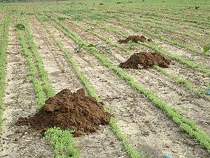 Middle East blind mole-rat - Soil mounds of the Middle East blind mole-rat in a field in Pardes Hanna-Karkur, Israel