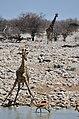 Napajedlo v Okaukuejo, Etosha - Namibie - panoramio (5).jpg