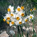 Narcissus-tazetta-2014-Zachi-Evenor (cropped).jpg