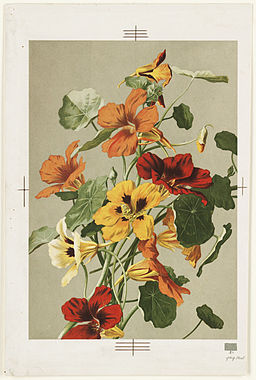 Nasturtiums (Boston Public Library)