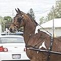 National Show Horse2.jpg