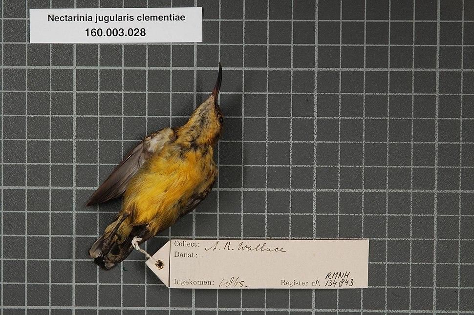 Naturalis Biodiversity Center - RMNH.AVES.134843 2 - Nectarinia jugularis clementiae (Lesson, 1827) - Nectariniidae - bird skin specimen.jpeg