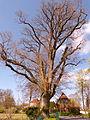 Naturdenkmal 1504-1 Eiche im Wohldweg, Bild 2.JPG