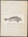 Nebris microps - 1700-1880 - Print - Iconographia Zoologica - Special Collections University of Amsterdam - UBA01 IZ13400089.tif