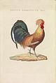 Nederlandsche vogelen (KB) - Gallus gallus (472b).jpg