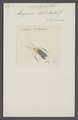 Nematopus - Print - Iconographia Zoologica - Special Collections University of Amsterdam - UBAINV0274 040 04 0023.tif