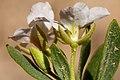Nerisyrenia hypercorax - Flickr - aspidoscelis.jpg
