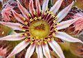 Netresk cvet 1.jpg