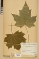 Neuchâtel Herbarium - Acer platanoides - NEU000026116.tiff