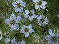 Nigella Sativa, Herb Garden, Huntington.jpg