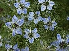 pour - L'huile de nigelle : Un remède pour tout sauf la mort 220px-Nigella_Sativa,_Herb_Garden,_Huntington