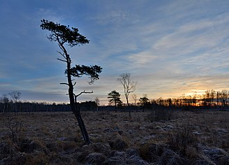 Bog - Pinus sylvestris in Niitvälja Bog, Estonia