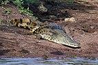 Nile crocodile (Crocodylus niloticus).jpg