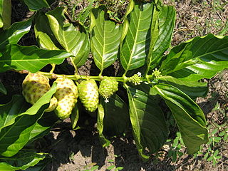 Noni fruit branch with ripe (far left) and unripe fruits (far right).