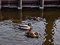 Noordwijk - Group of ducks.jpg