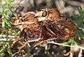 Noordwijk - Hoornaarroofvlieg (Asilus crabroniformis) - two in copula.jpg