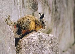 Northen viscacha between stones Machu Picchu.jpg
