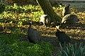 Numida meleagris damarensis - Pintade de Numibie 01.jpg