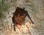 Nyctalus lasiopterus01.png