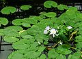 Nymphaea gigantea - Australische Seerose - Botanischer Garten Bonn.jpg