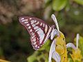 Nymphalidae - Graphium eurypylus.jpg