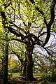 Oak tree coming into leaf, wooded area, Lonsdale Drive, Enfield - geograph.org.uk - 782254.jpg