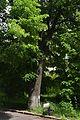 Odesa Lemme Lime tree 51-101-5017 DSC 3884.jpg