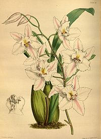 Odontoglossum nobile Paxton 090