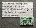 Odontomachus bauri casent0173304 label 1.jpg