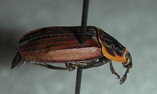 <i>Oiceoptoma noveboracense</i> species of beetle