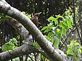 Okinawa woodpecker 4.jpg