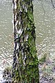 Old birch bark (34024708441).jpg