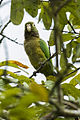 Olive-throated Parakeet - Sarapiqui - Costa Rica MG 0360-Modifica (26075023273).jpg