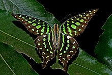 Open wing position of Graphium agamemnon Linnaeus, 1758 – Tailed Jay DSC 4686.jpg