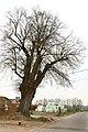 Opgaande linde met boomkapel - 375058 - onroerenderfgoed.jpg