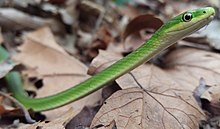 Opheodrys aestivus - rough green snake cropped.jpg